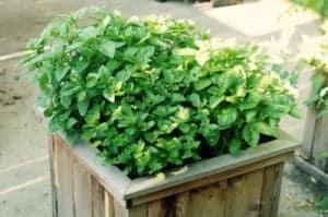 basil mint wide