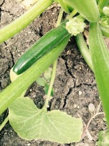 zucchini close up