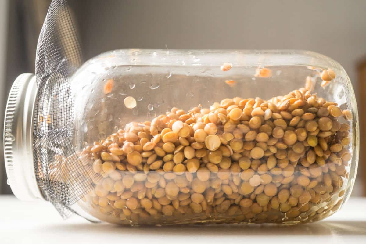 the beginning of the lentil sprouting process