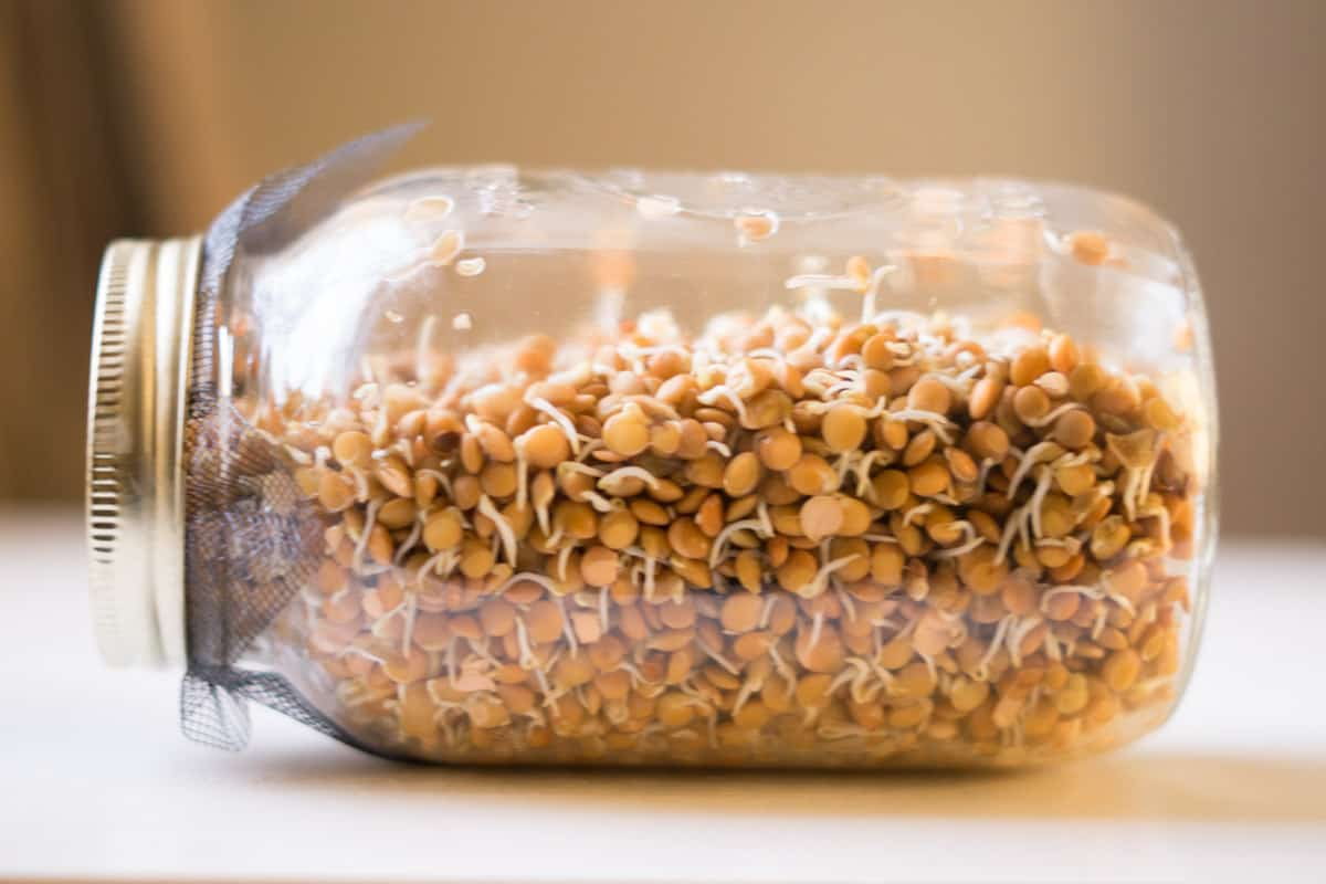 sprouted lentils in a jar